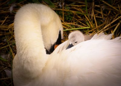 Swan Family Lucy Coughlan